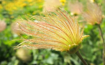 fleur mercantour