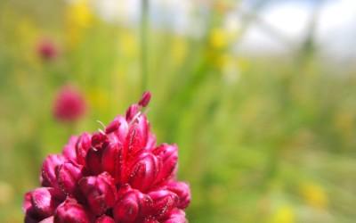 fleur fort de Joux Doubs