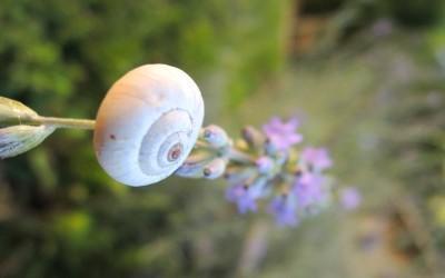 Lavande et escargot provence