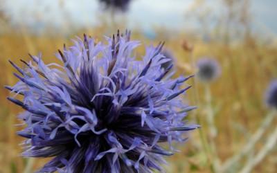 Fleur chardon vaucluse
